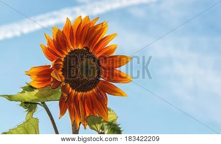 A big beautiful sunflower with a black beetle on a background of blue sky with sheer long cloud background with place for your text horizontal frame.