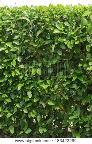 nature close up green leaves wall background