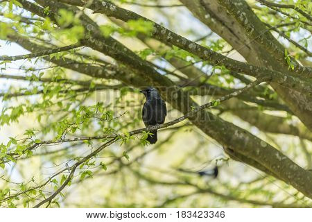 Jackdaw On A Tree Branch. The European Jackdaw Is A Bird In The Crow Family.
