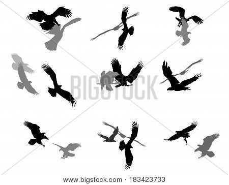 Set of vector cut out group flying and sitting silhouettes of american eagle (white-tailed eagle bald eagle) in black color on white background. Relationship of eagles