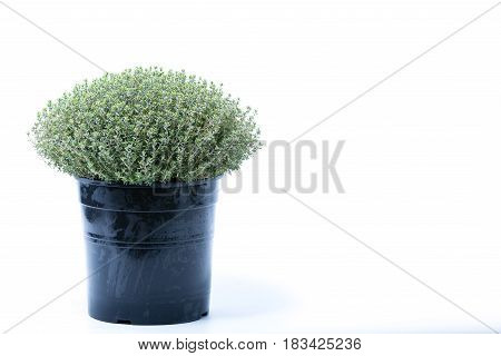 Thymus Vulgaris Faustini Herb In A Black Pot Isolated On White Background