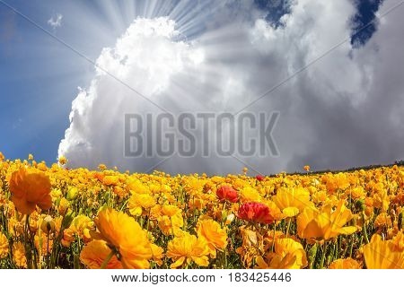 The bright spring sun shining through the clouds. The magnificent blossoming fields of garden buttercups. Concept of rural tourism and agrotourism