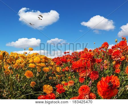 Three large birds flying high in the cumulus clouds. The concept of  eco-tourism and recreation. The southern sun illuminates the flower fields of red buttercups