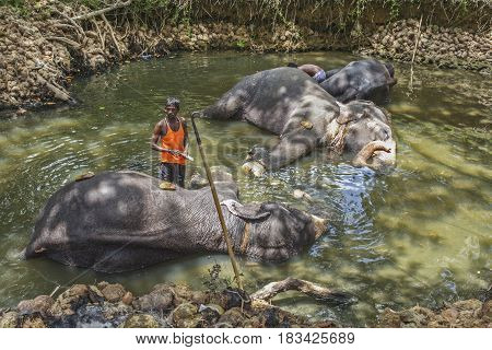 A Mahout Cleans His Working Elephants In A Small Lake