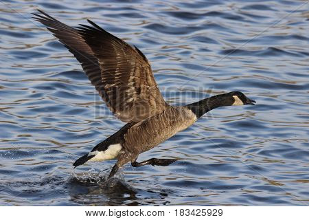 A Canada Goose Branta canadensis walking on water as it takes off from a lake