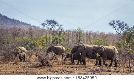 African bush elephant in Kruger national park, South African ; Specie Loxodonta africana family of Loxodonta africana