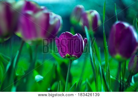 purple tulips with blur background and green grass in spring