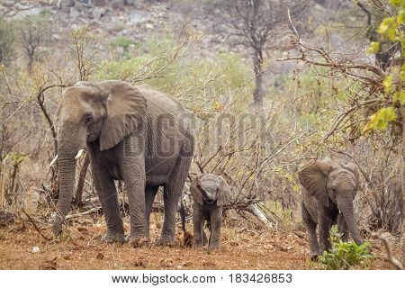 African bush elephant in Kruger national park, South African ; Specie Loxodonta africana family of Elephantidae