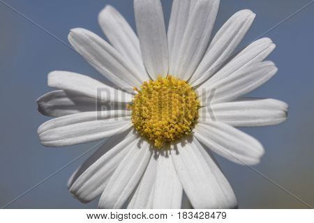 Single white petal daisy with yellow stamen