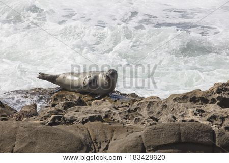 Sea Lion resting on a rocky cliff in front of the waves at La Jolla California in San Diego