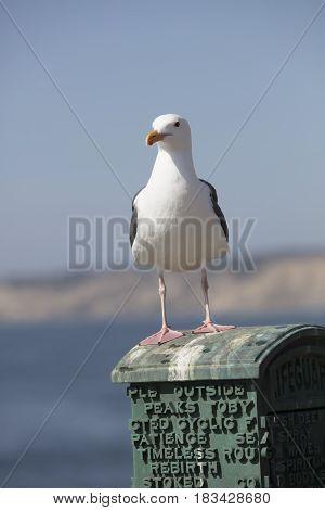 Sea Gull standing on a box in La Jolla California