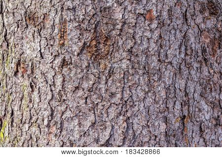 Tree bark texture. Surface of the old tree trunk.