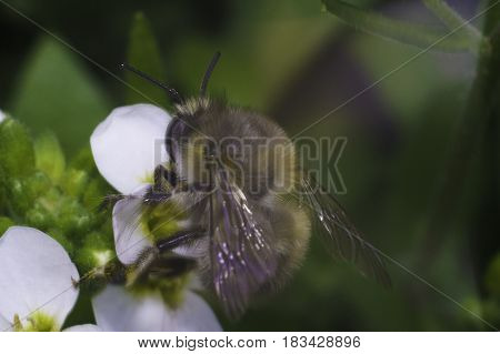 bee on the white flower with blur background macro photo in spring