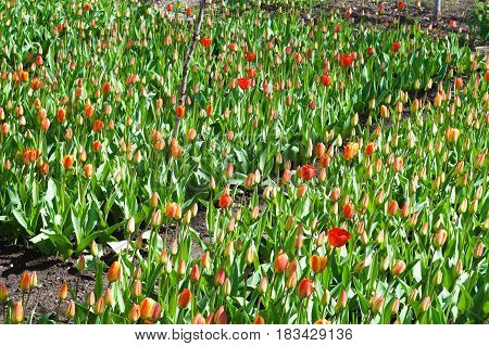 young red tulips garden beds with green grass in spring