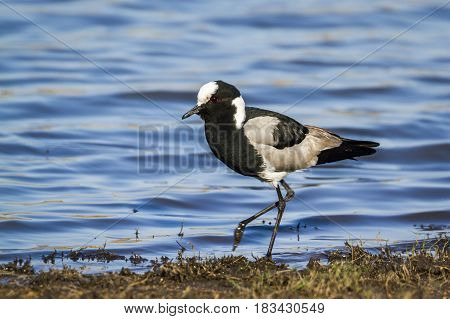 Blacksmith lapwing in Kruger national park, South African ; Specie Vanellus armatus family of Charadriidae