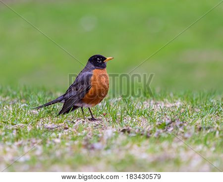 American Robin in a green grass field searcpullinghing for worms and other insects out of the ground in early spring in Montreal Canada.