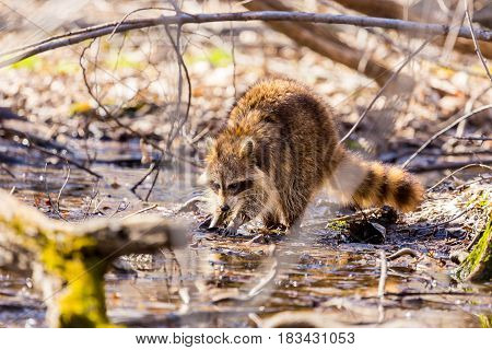 A reddish fur variety of Raccoon searching in a swamp for worms in early spring Quebec, Canada.