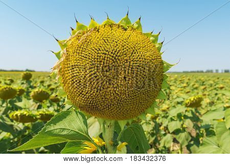 sunflower head close up after flowering on field