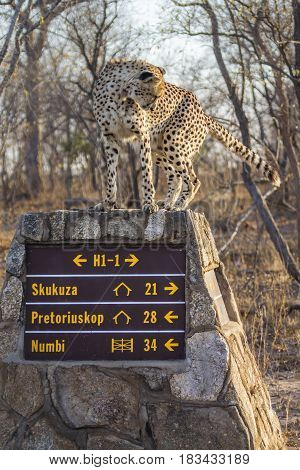 Cheetah in Kruger national park, South African ; Specie Acinonyx jubatus family of Felidae