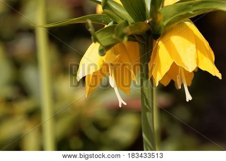 Flowers of a yellow crown imperial (Fritillaria imperialis)