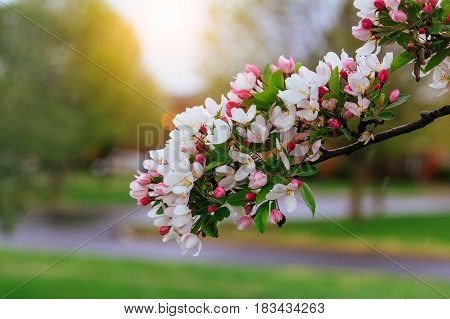 Blossoming Tree Branch. Beautiful White Flowers And Green Leaves. Spring Flowering.