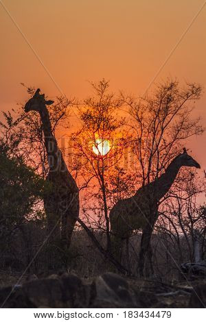 Giraffe in Kruger national park, South African ; Specie Giraffa camelopardalis family of Giraffidae