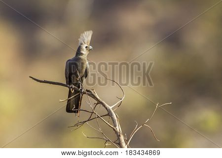 Grey go-away bird in Kruger national park, South African ; Specie Corythaixoides concolor family of Musophagidae