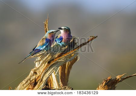 Lilac-breasted roller in Kruger national park, South African ; specie Coracias caudatus family of Coraciidae