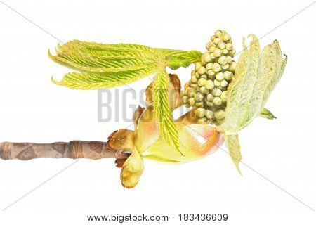 Branch of horse chestnut with flower buds and young green leaves isolated on white background