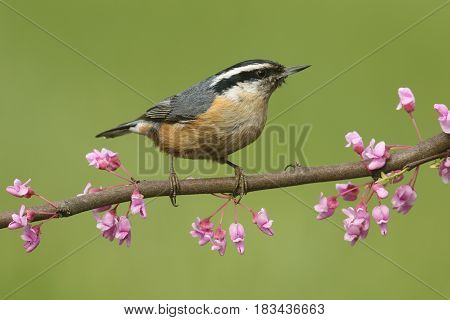 Red-breasted Nuthatch (sitta canadensis) on a Redbud branch with a green background