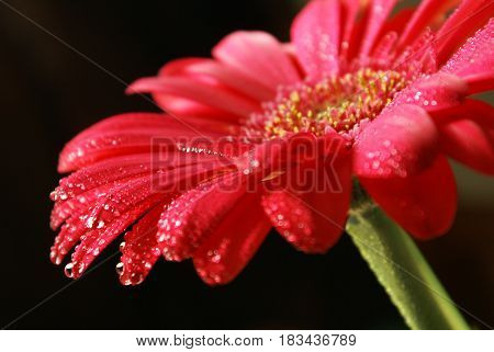Closeup view of water droplets resting on a gerber flower.