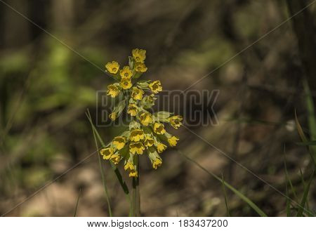 Cowslip flower with yellow bloom in spring evening