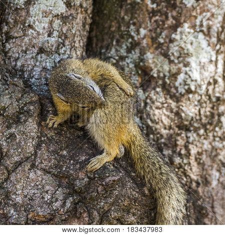Bush smith squirrel in Kruger national park, South Africa ; Specie Paraxerus cepapi family of Sciuridae poster
