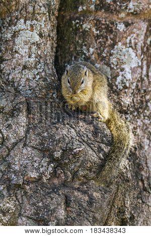 Bush smith squirrel in Kruger national park, South Africa ; Specie Paraxerus cepapi family of Sciuridae