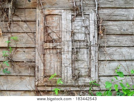 Old wooden window covered with wood roots,use for backdrop or web design,vintage concept.