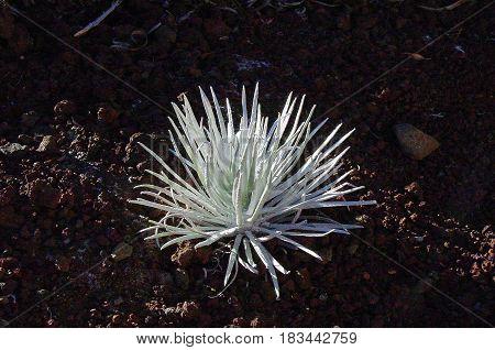 Blooming Rare Haleakala Silversword Flower in Hawaii
