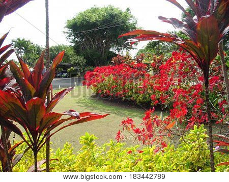 Blooming Red Flower Bushes in  Maui, Hawaii