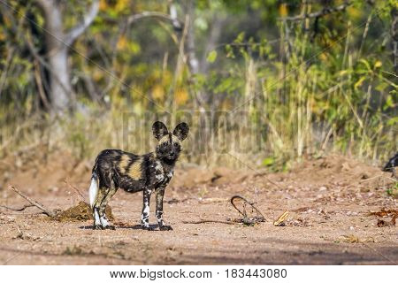 African wild dog in Kruger national park, South Africa ; Specie Lycaon pictus family of Canidae