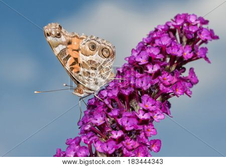 Beautiful American Painted Lady butterfly feeding on a purple Buddleia flower cluster with blue sky background