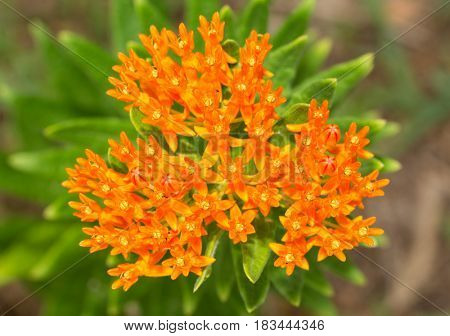 Beautiful bright orange Butterfly weed, a milkweed and main foodplant for Monarch butterfly caterpillars