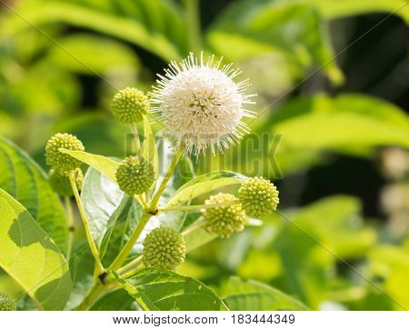 Blooming white flower of Buttonbush against green summer background