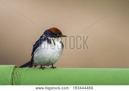 Wire-tailed swallow in Kruger national park, South Africa ; Specie Hirundo smithii family of Hirundinidae