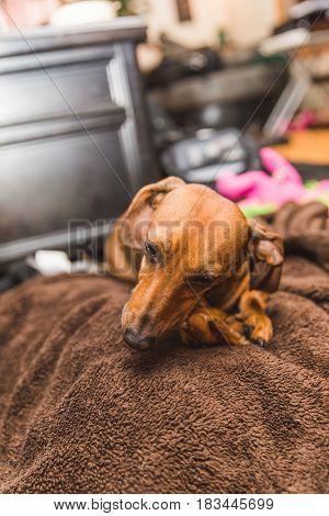 Cute Dachsund Dog