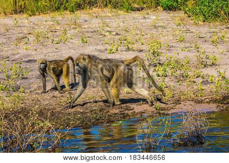Chobe National Park in Botswana. The baboons at a watering place on large river. The concept of exotic tourism in Okavango Delta