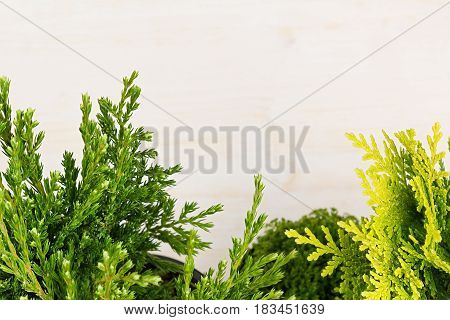 Eco border of green young conifer branches close up on beige wood board background.