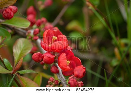 Red spring flowers, Blossoming Chaenomeles, Japanese quince