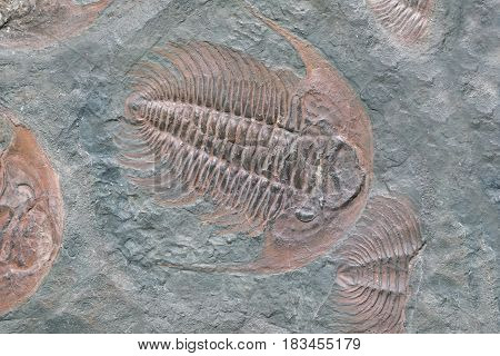 Fossil of trilobite - detail view. Prehistoric fossiled trilobites from Barrandien in Czech republic