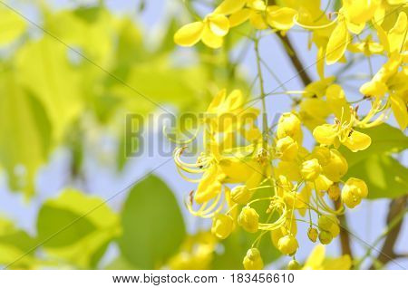 Golden shower Cassia fistula or pudding pipe flower
