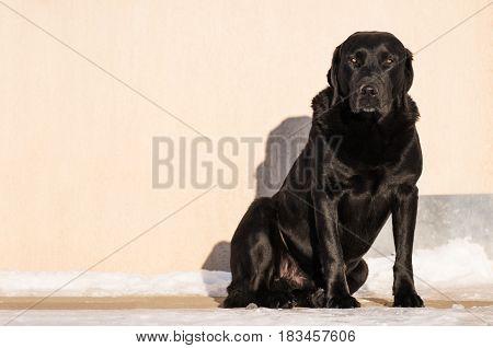 Black Labrador Retriever, watchdog sitting in front of house