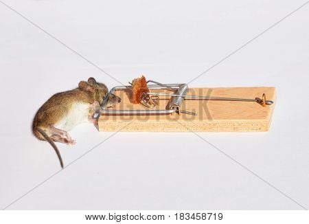 Dead mouse in a wooden mousetrap isolated on white background. Dead mouse in a trap.
